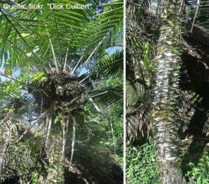 Knöpfe aus Steinnuss Tagua Palme
