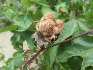 Rohstoff Baumwolle Anbau Peru