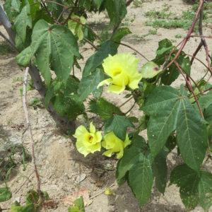 Rohstoff Baumwolle Blüte Gelb Peru (2)