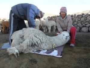 Faire Baby Alpaka Wolle Schur