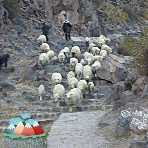 Nachhaltige Wolle von glücklichen Alpakas