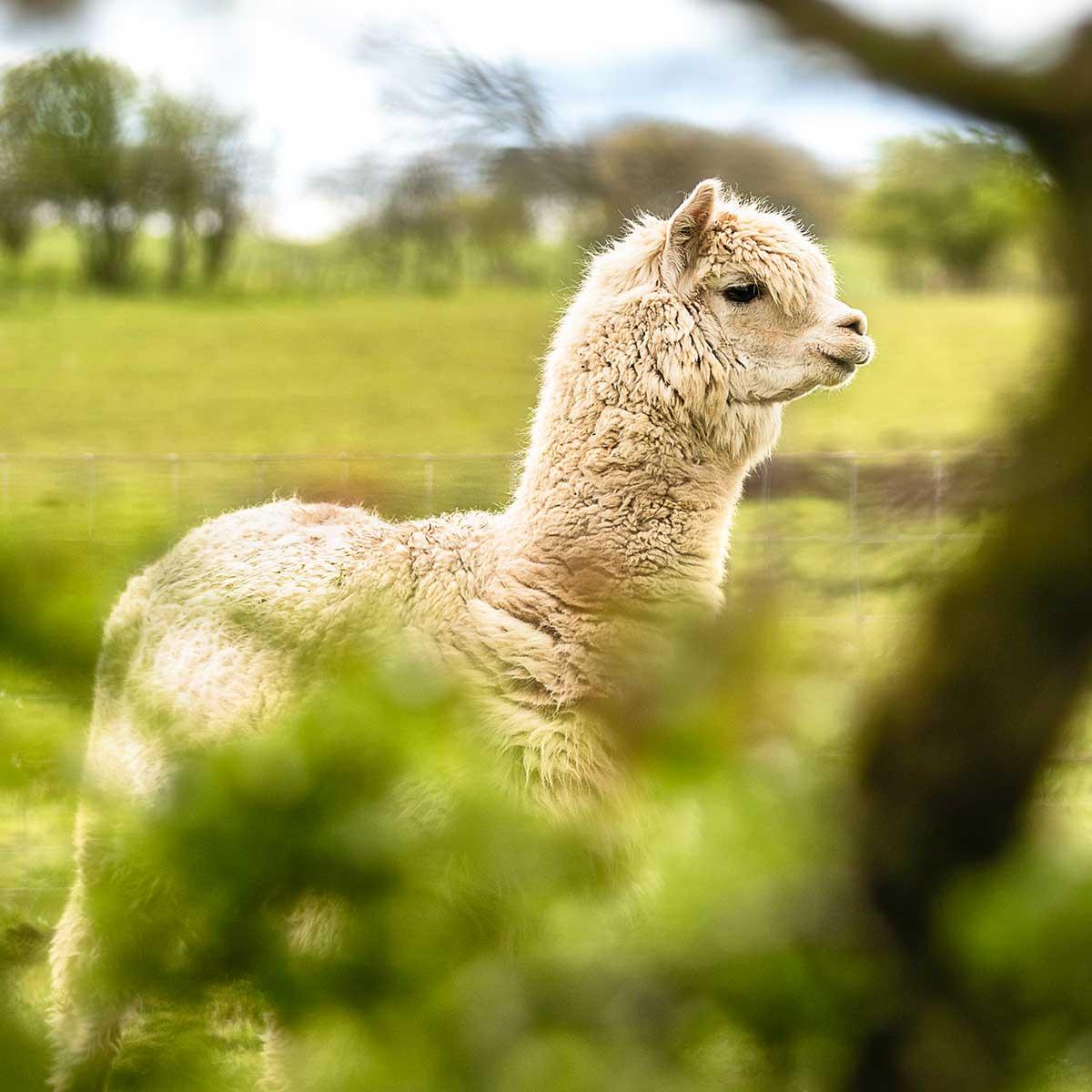 Alpaca_Wool_Alpaka_Wolle
